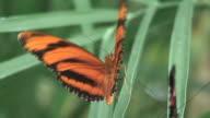Farfalla/36-HD 1080 60i