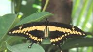 Butterfly 39 - HD 1080/60i