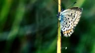 Butterfly Amphiesmenoptera Panorpida Macro