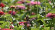 Colorato farfalla in campo Crisantemo
