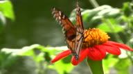 Farfalla primo piano