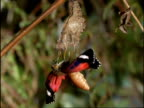 CU Butterfly emerging from pupa with crumpled wings, Australia