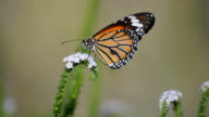 Butterfly feeding on a white flower