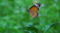 Farfalla volare fino lento II