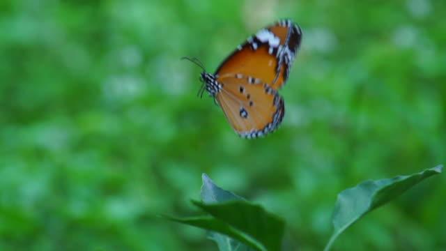 Schmetterling fliegen Sie langsam II