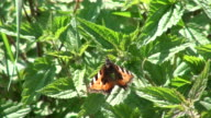 CU Butterfly flying on urtica dioica leaves / Serrig, Rhineland-Palatinate, Germany