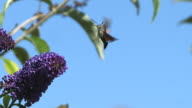 CU SLO MO Butterfly flying over flowers / Vieux, Normandy, France