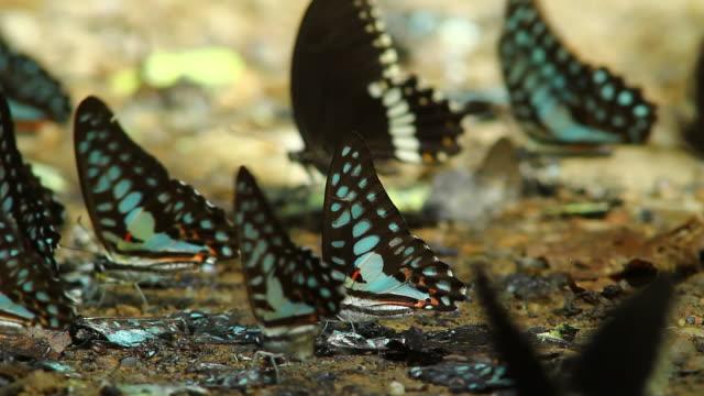 Schmetterling, HD