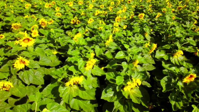 Butterfly in sunflowers