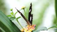 ZEITLUPE: Schmetterling auf Lila Blüte
