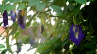 Schmetterling pea Blumen