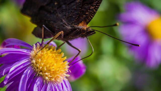 Butterfly pollinating a flower - slow motion
