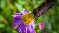 Butterfly pollinating an Aster Flower - Slow Motion