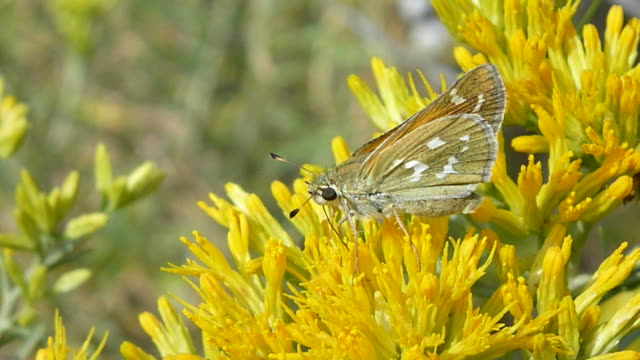 Butterfly sips rabbit brush nectar pollinates Colorado