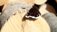 Butterfly sitting on the forestry wood pile