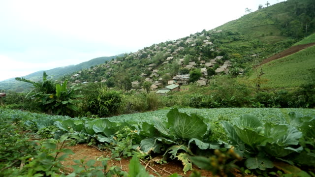 Cabbage on the mountain