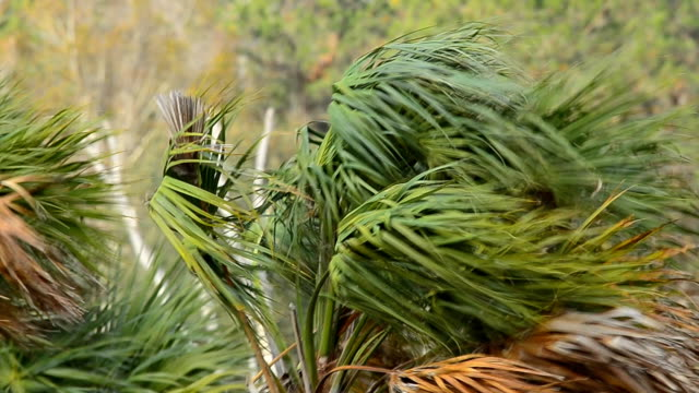 Cabbage Palm fronds on treetop being battred in hurricane