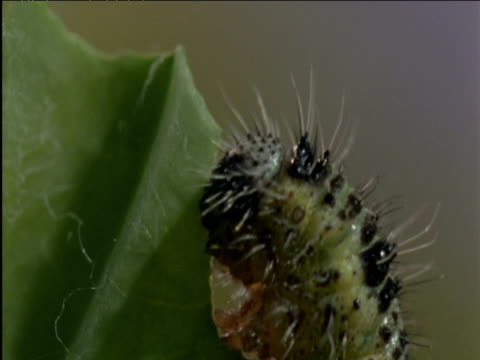 Cabbage white butterfly caterpillar eats cabbage leaf UK