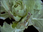Cabbage white butterfly caterpillars eat cabbage leaf UK