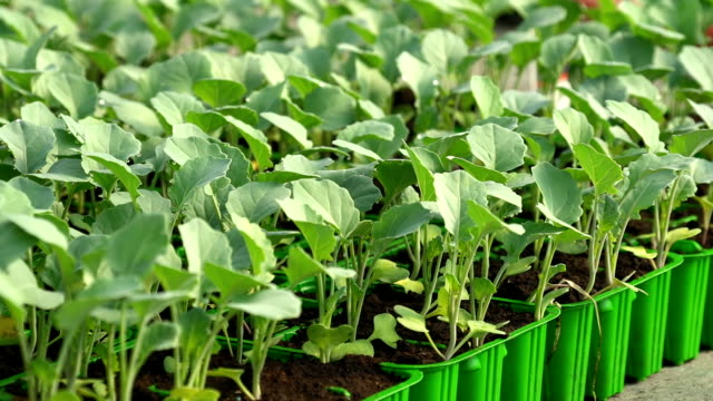 HD DOLLY: Cabbage Young Plants