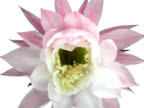 Cactus Flower Bloom