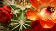 Cactus flowers in bloom