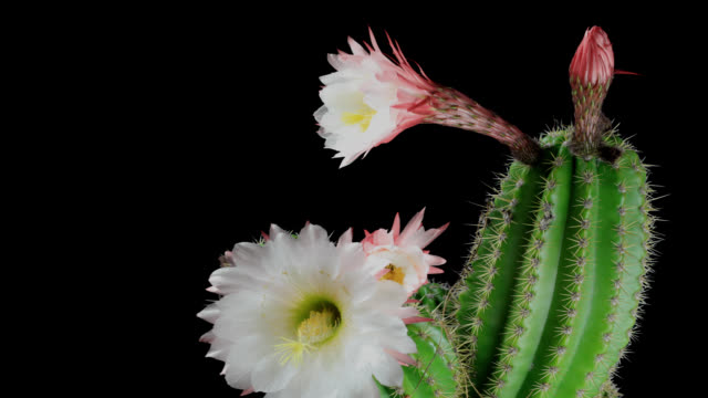 Cactus Flower's Life Cycle