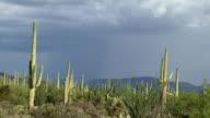 MS Cactus growing in desert, mountains in background / Tucson, Arizona, USA
