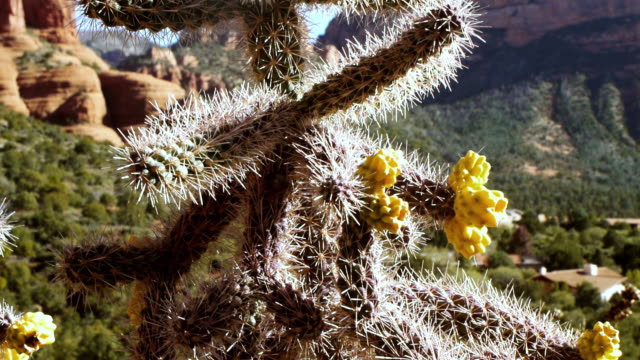 CU TU Cactus tree against background of Sedona red rock mountains / Sedona, Arizona, USA