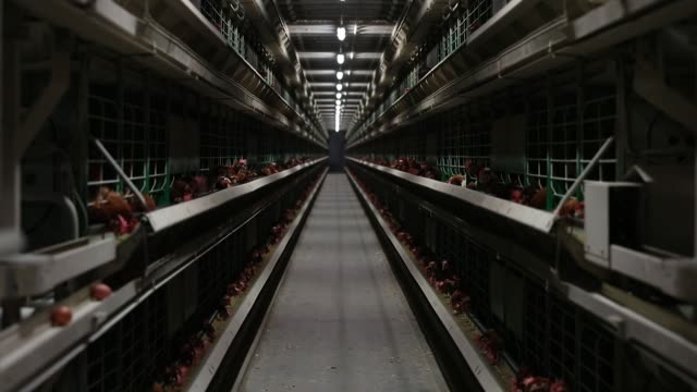 Caged hens feed inside an egg farm in the West Flanders region of Belgium on Thursday Aug 10 2017