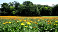 Calendula flower field