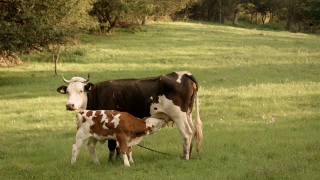 Calf Sucking Milk From a Cow