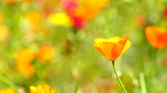 California Mohn Feld im Frühling