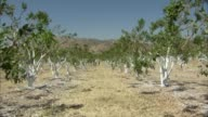 KTXL California Citrus Growers Trimming Painting Trees To Deal With Drought Growers in Fresno have sawed off large portions of their trees because...