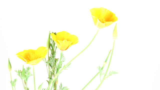 Kalifornischer Mohn Blumen