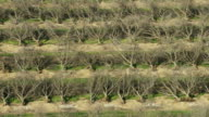 USA, California: Uprooted almond trees