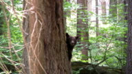 HD: Californian bear