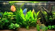 Calming discus fish aquarium