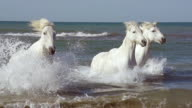 MS TS ZI SLO MO Camargue horse galloping in sea / Saintes Marie de la Mer, Camargue, France