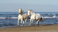 MS TS SLO MO Camargue horse galloping on beach / Saintes Marie de la Mer, Camargue, France