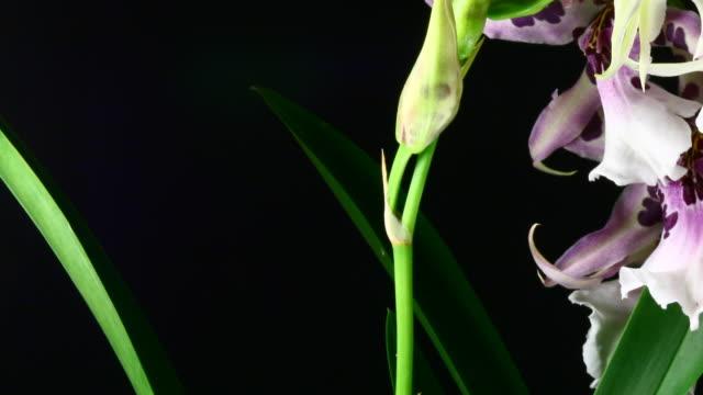 Cambria weißen Orchideen Blumen