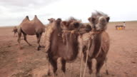 Camel farm with many camels in Gobi desert, Mongolia