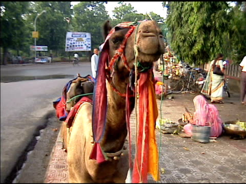Camel in Udaipur India