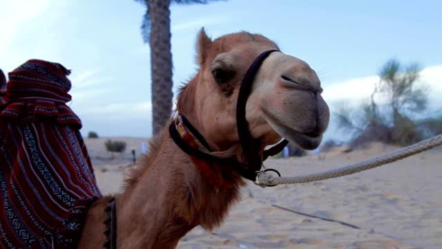 Camel resting in the desert