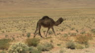 WS PAN Camel walking in desert by roadside, Ait Aissa Oubrahim, Morocco