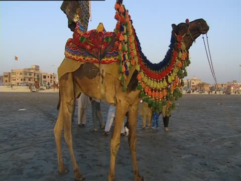 A camel wearing bright colours