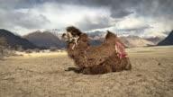 Camel yawn in nubra valley india