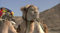 Camels drink from an open cooler.