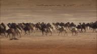 Camels in Saudi Arabia 02