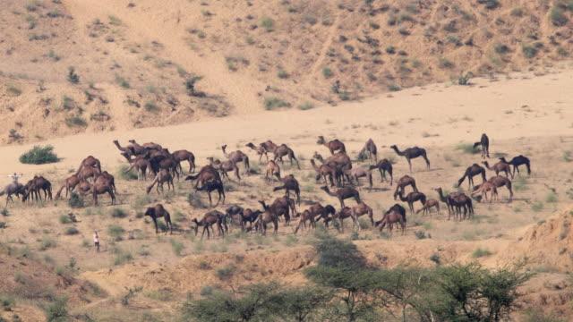 Camels in Thar desert of Rajasthan
